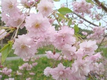 桜20150428.jpg